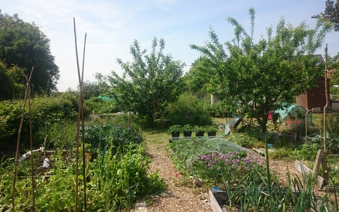 Allotment early summer
